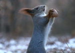 vjeverica-6