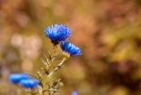 cvijet-0018