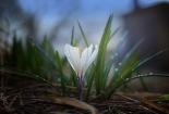 cvijet-0021