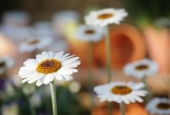 cvijet-004