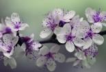 cvijet-006