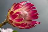 cvijet-007