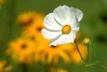 cvijet-009