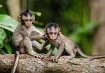 majmuni-0001 (1)