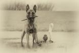 ingo-belgijski-ovcar-poldi-sivi-cuk-prijateljstvo-tanja-brandt-3
