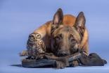 ingo-belgijski-ovcar-poldi-sivi-cuk-prijateljstvo-tanja-brandt-7