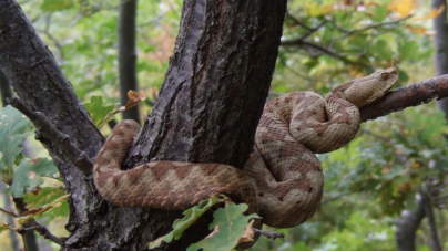 Poskok – zmija s lažnim imenom