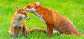 Crvena lisica
