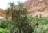 Datulja je dragocjeno drvo života u Sahari