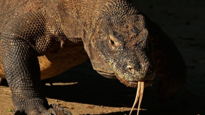 Komodski zmaj ili komodski varan – 70 milijuna godina stari gušter
