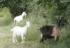 Zaprežne koze nisu nikakva novost
