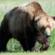 Kako se ponašati u medvjedovom staništu