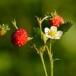 Šumska jagoda – malena ukusna ljepotica