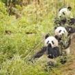Velika panda