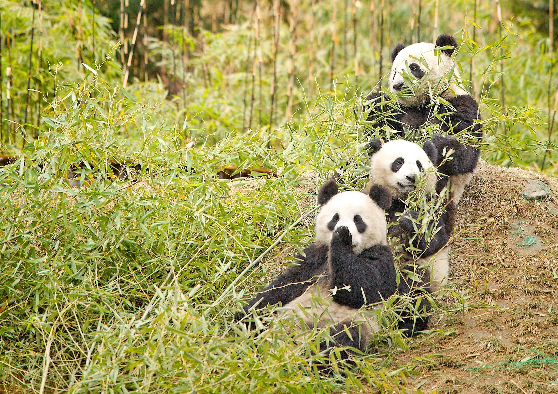 velike pande