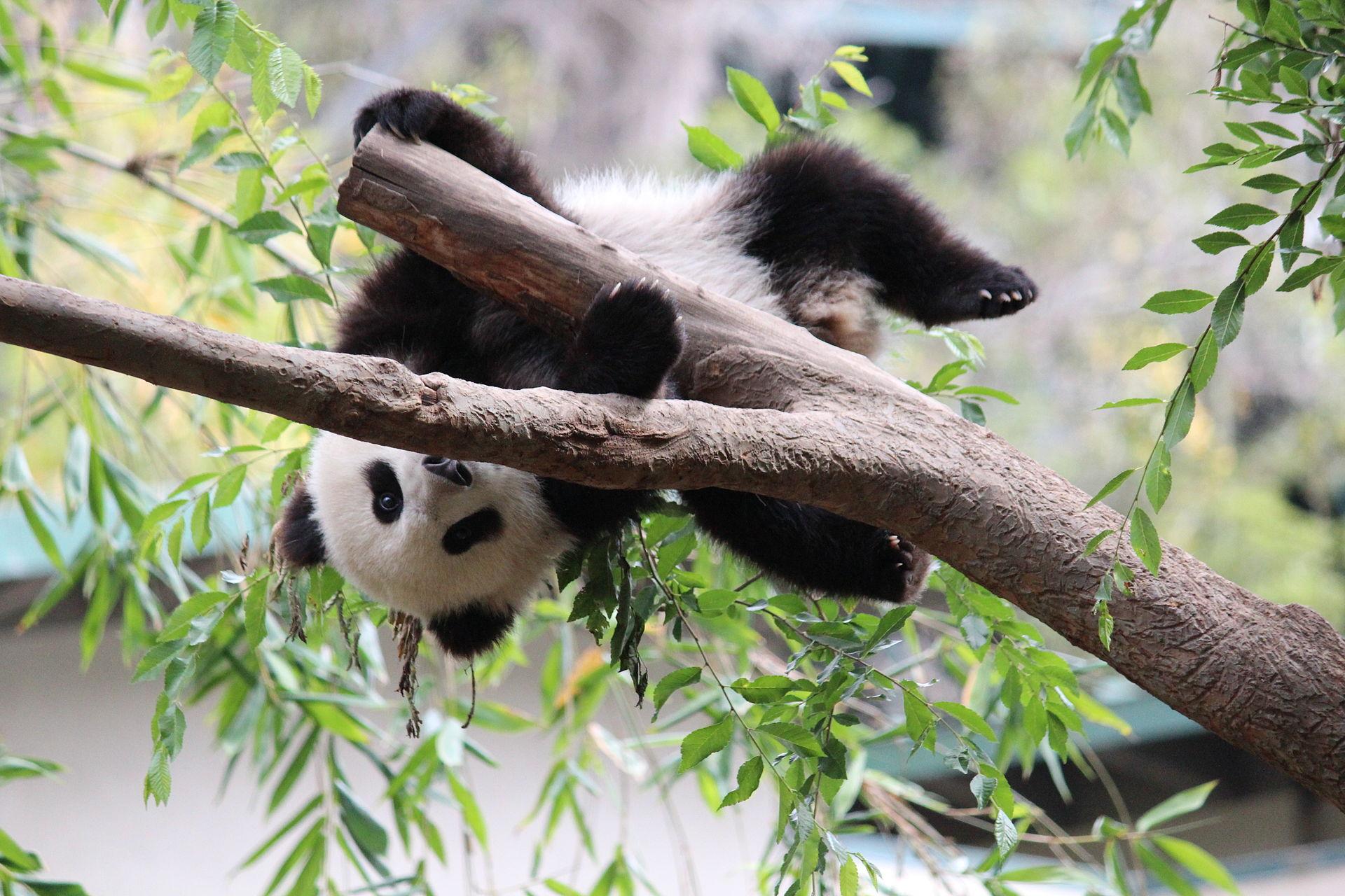 velika panda mladunče