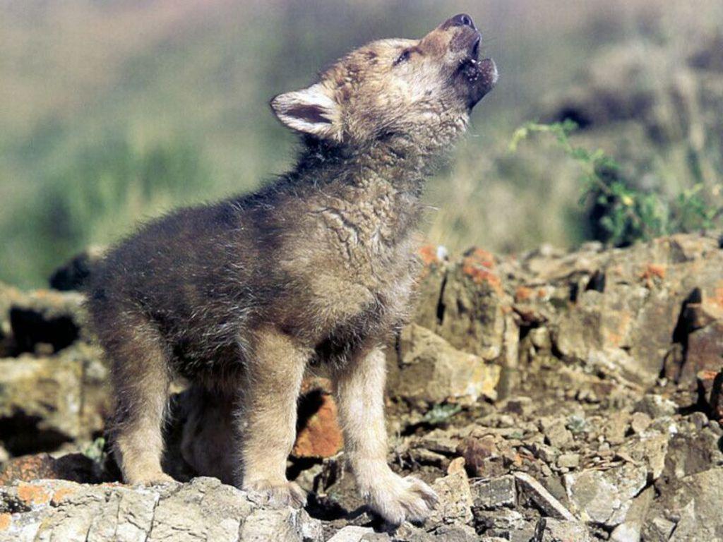 mladunče vuka