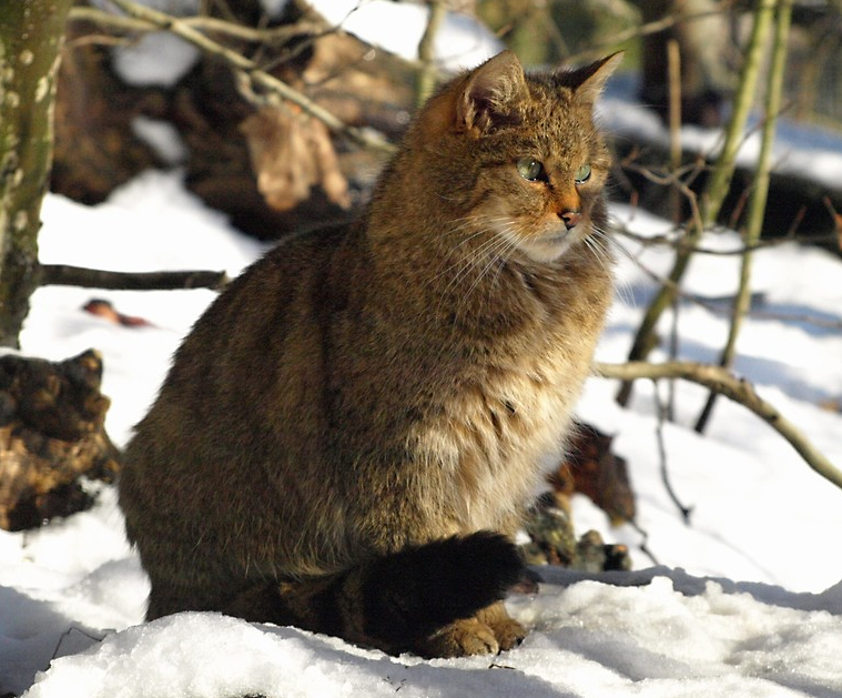 Fotografije mladih azijskih maca