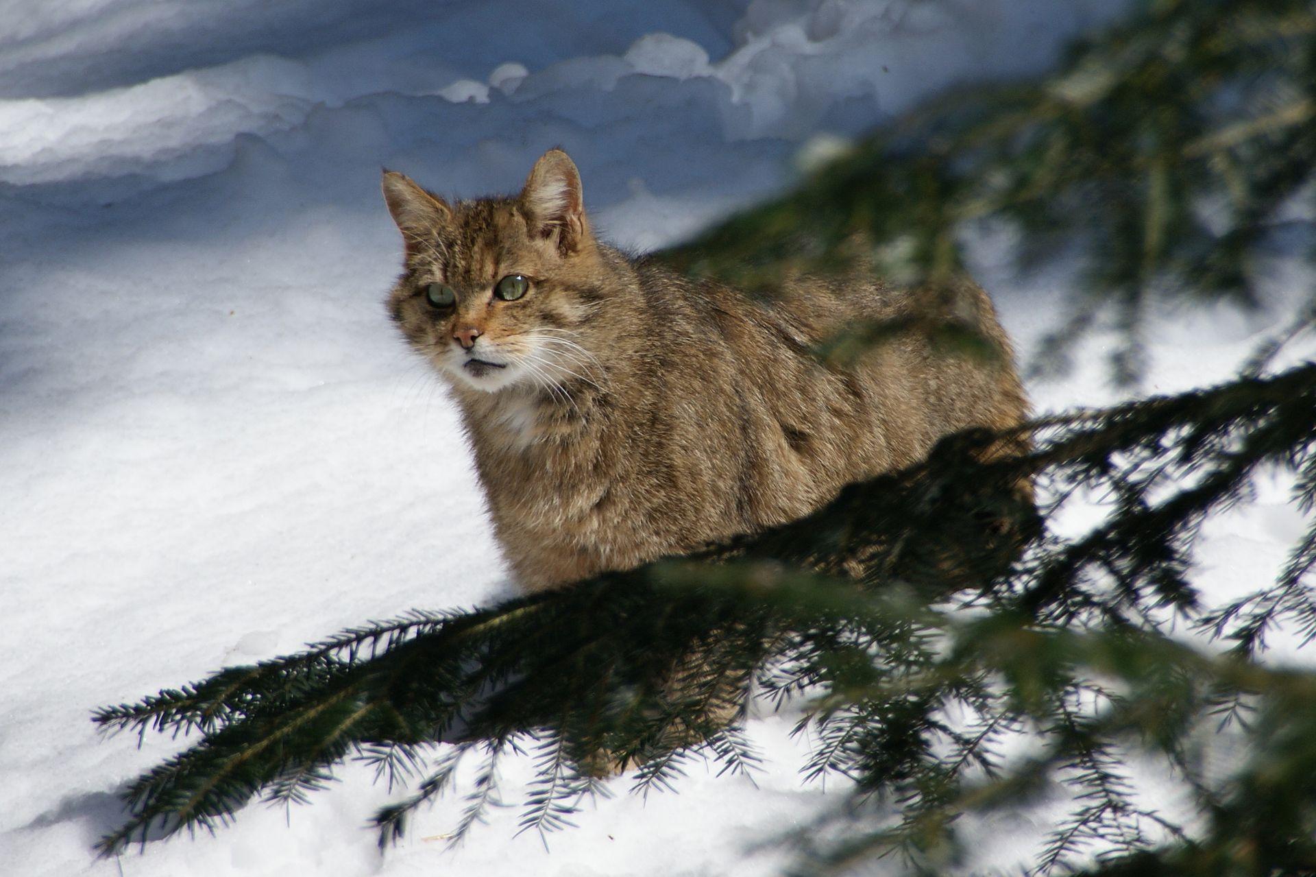 Europska divlja mačka