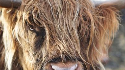 Škotsko visinsko govedo