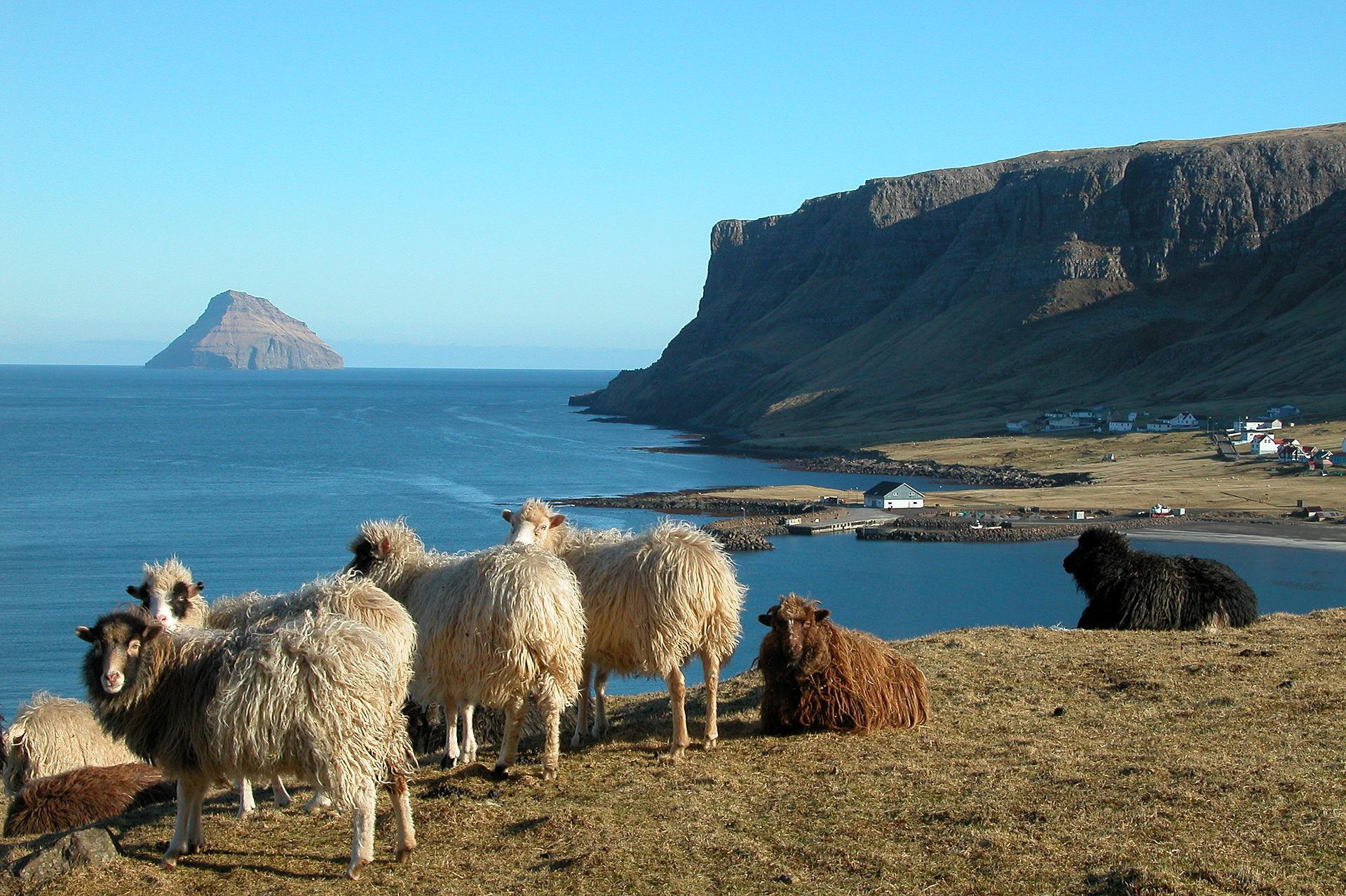 farsko otočje - ovce