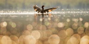 Morski vranac, crni ribolovac