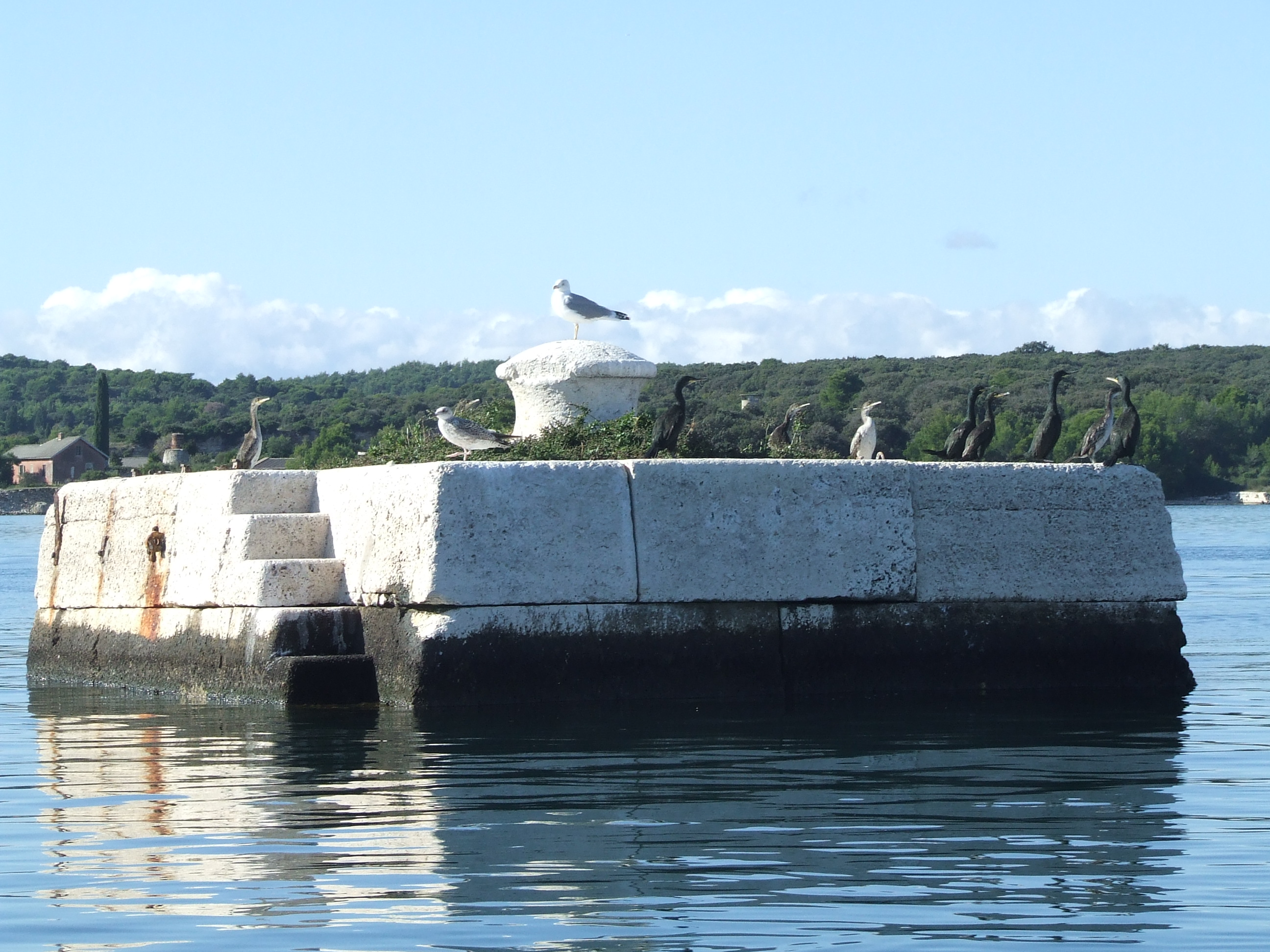 morski vranac