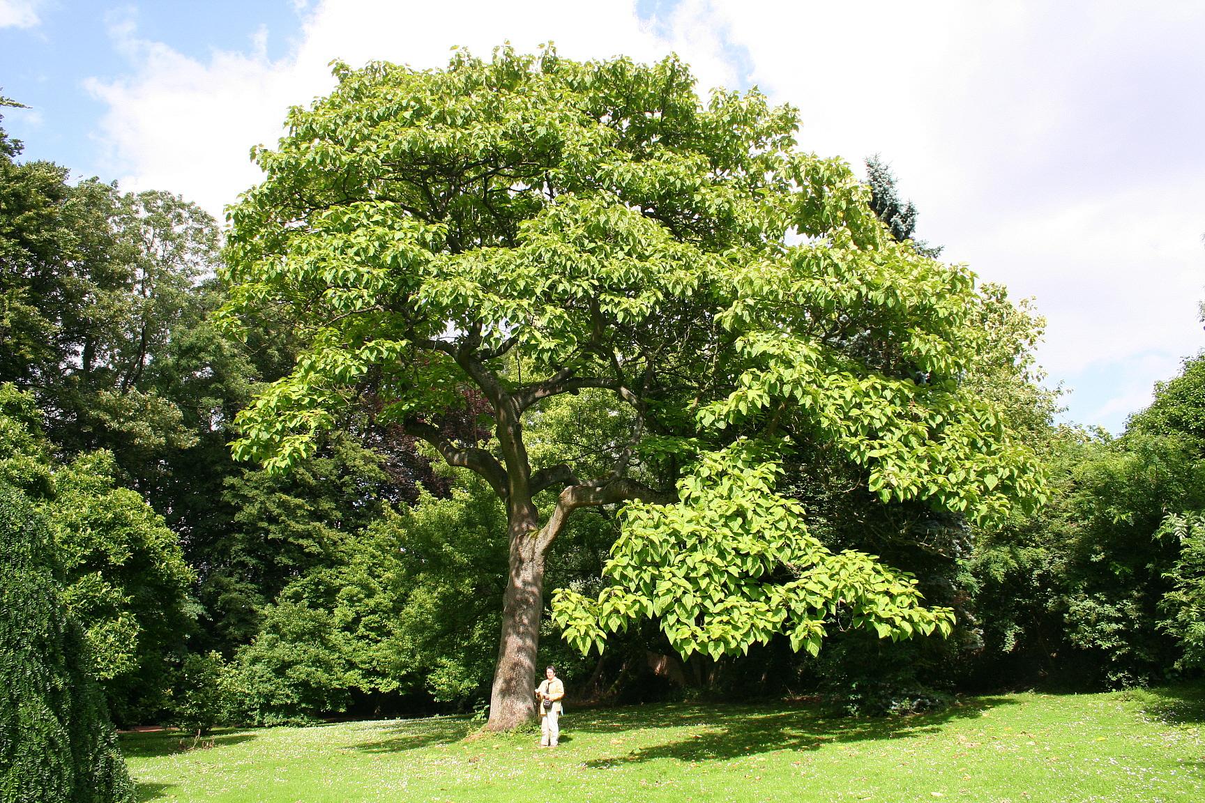 paulvonija drvo
