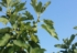Smokva je rajsko voće Mediterana