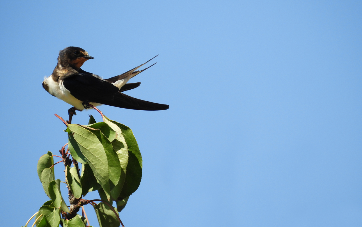 lastavica pokućarka