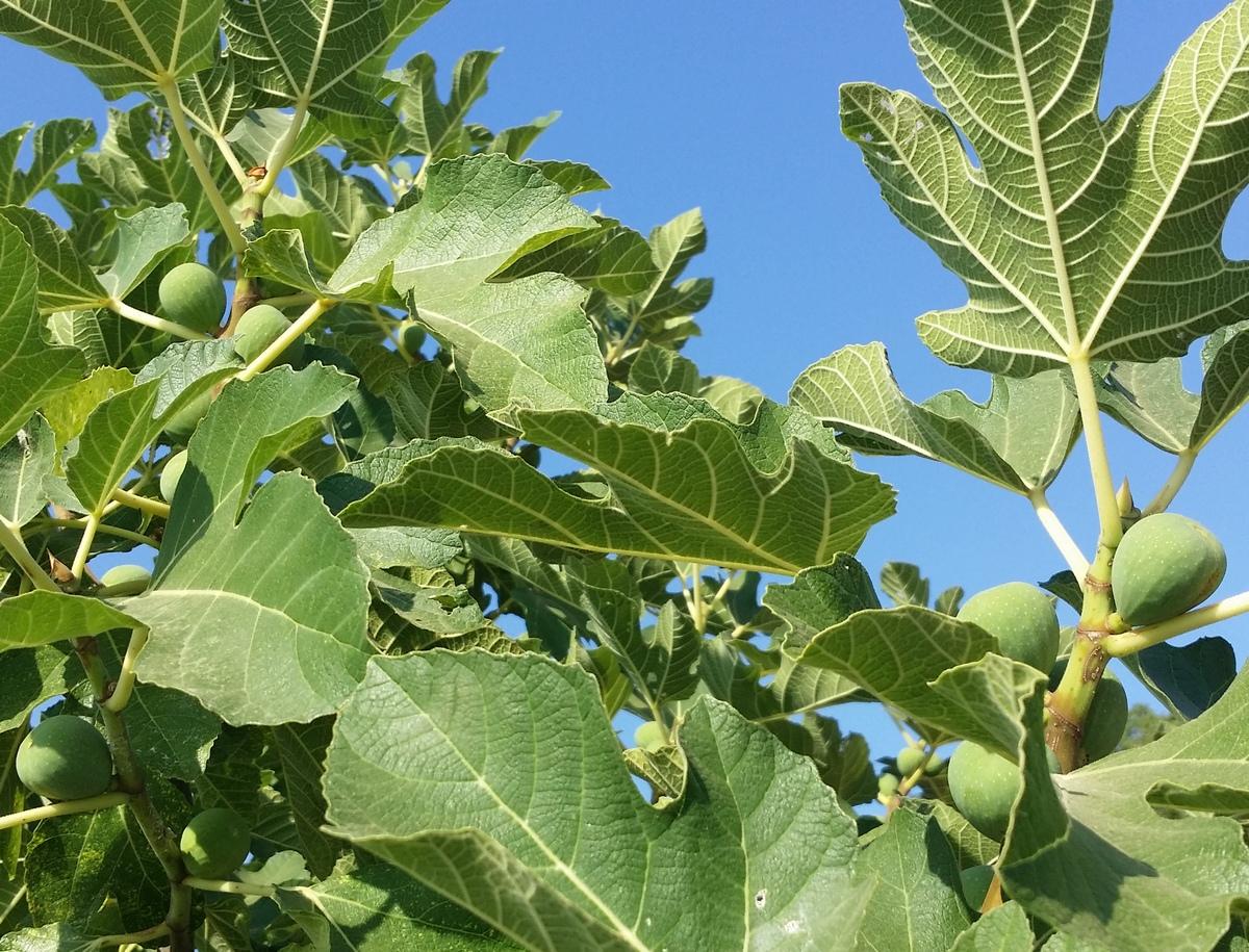 Smokva je rajsko voće Mediterana - Ludens Media - Svijet
