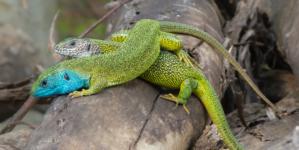 Zelembać naš prekrasni mali reptil