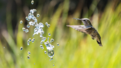 Kako kolibrići lete po jakom vjetru i kiši