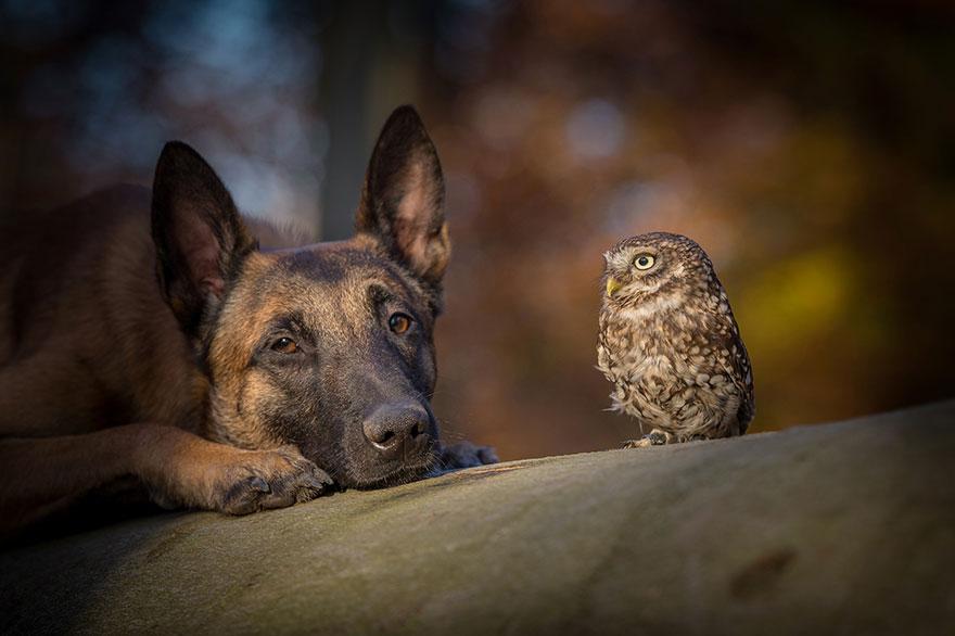 belgijski ovčar i sivi ćuk
