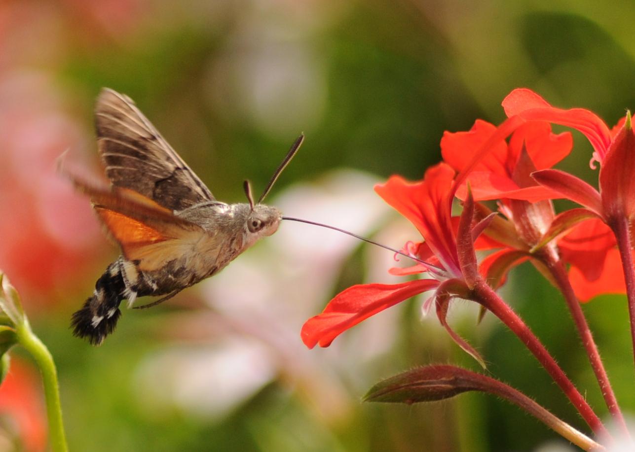 Leptir kolibrić - obična golupka