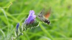 Leptir kolibrić