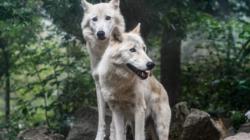 Vukovi i ekosustav