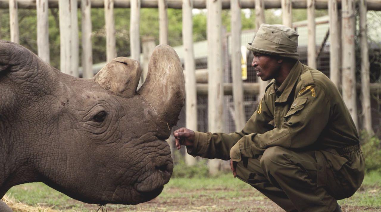 sjeverni bijeli nosorog Sudan