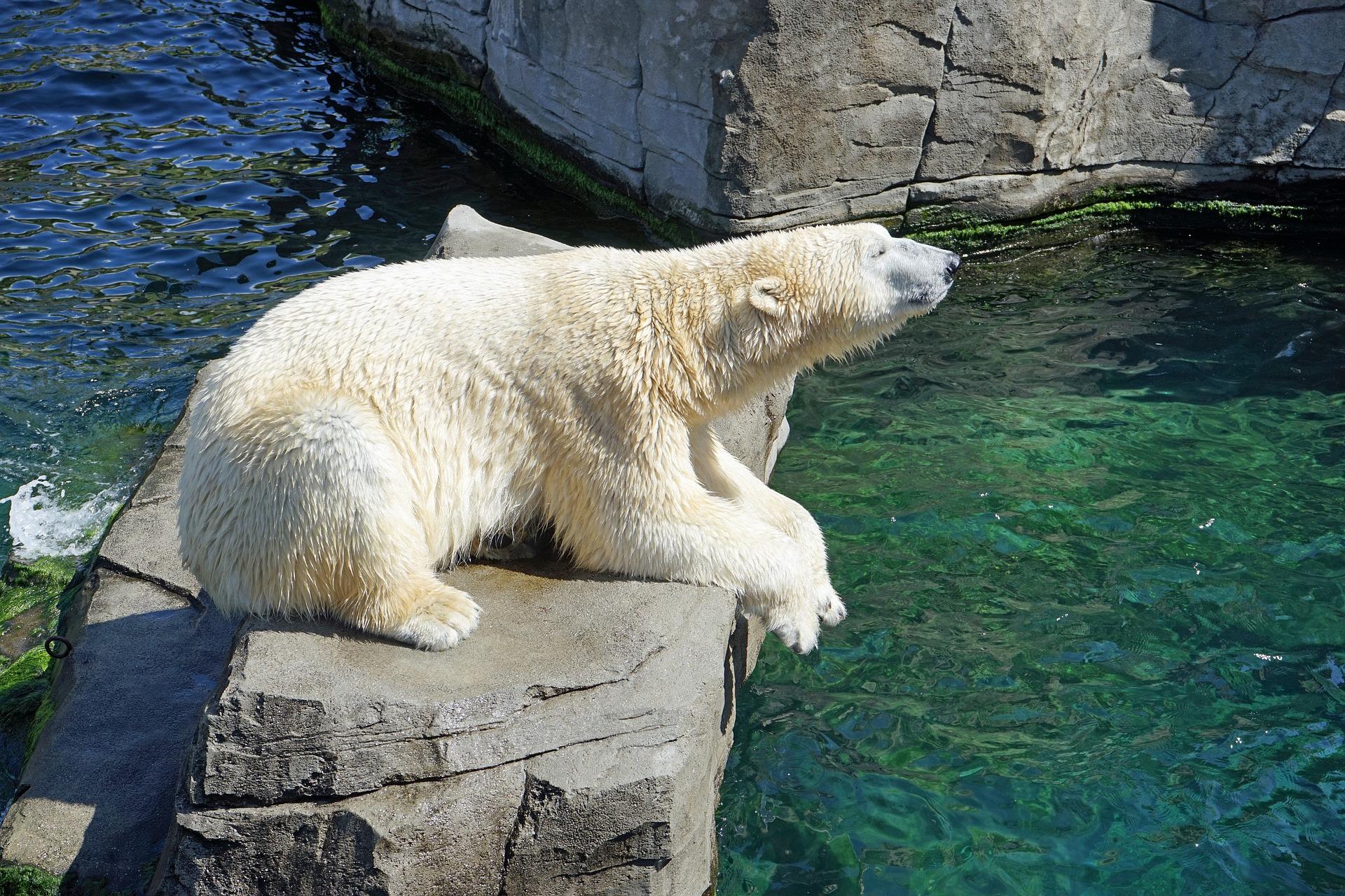 Inuka polarni medvjed