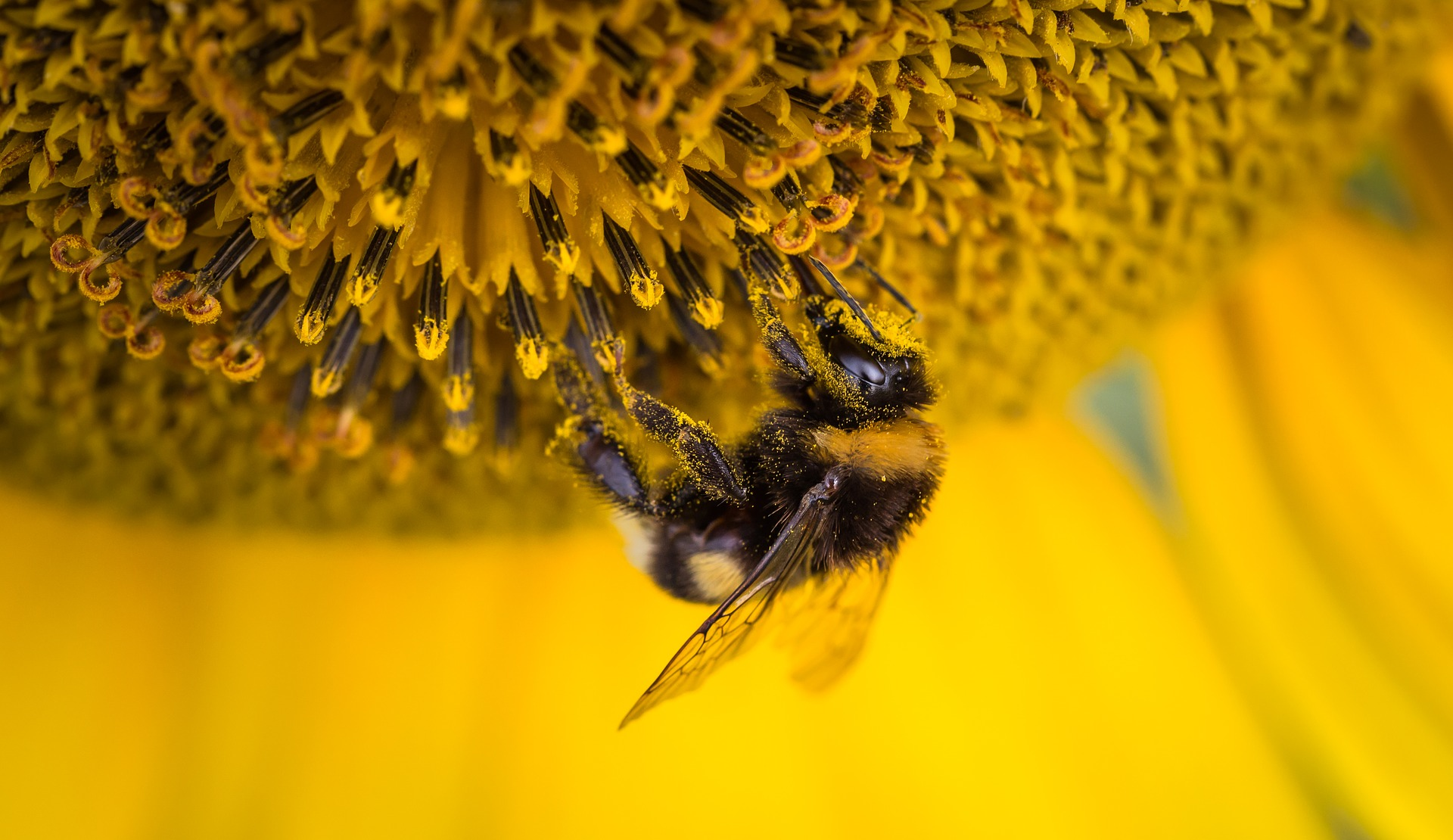 suncokret i pčela