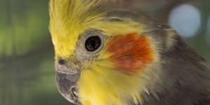 Nimfa papagaj
