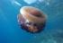 Meduza cotylorhiza tuberculata