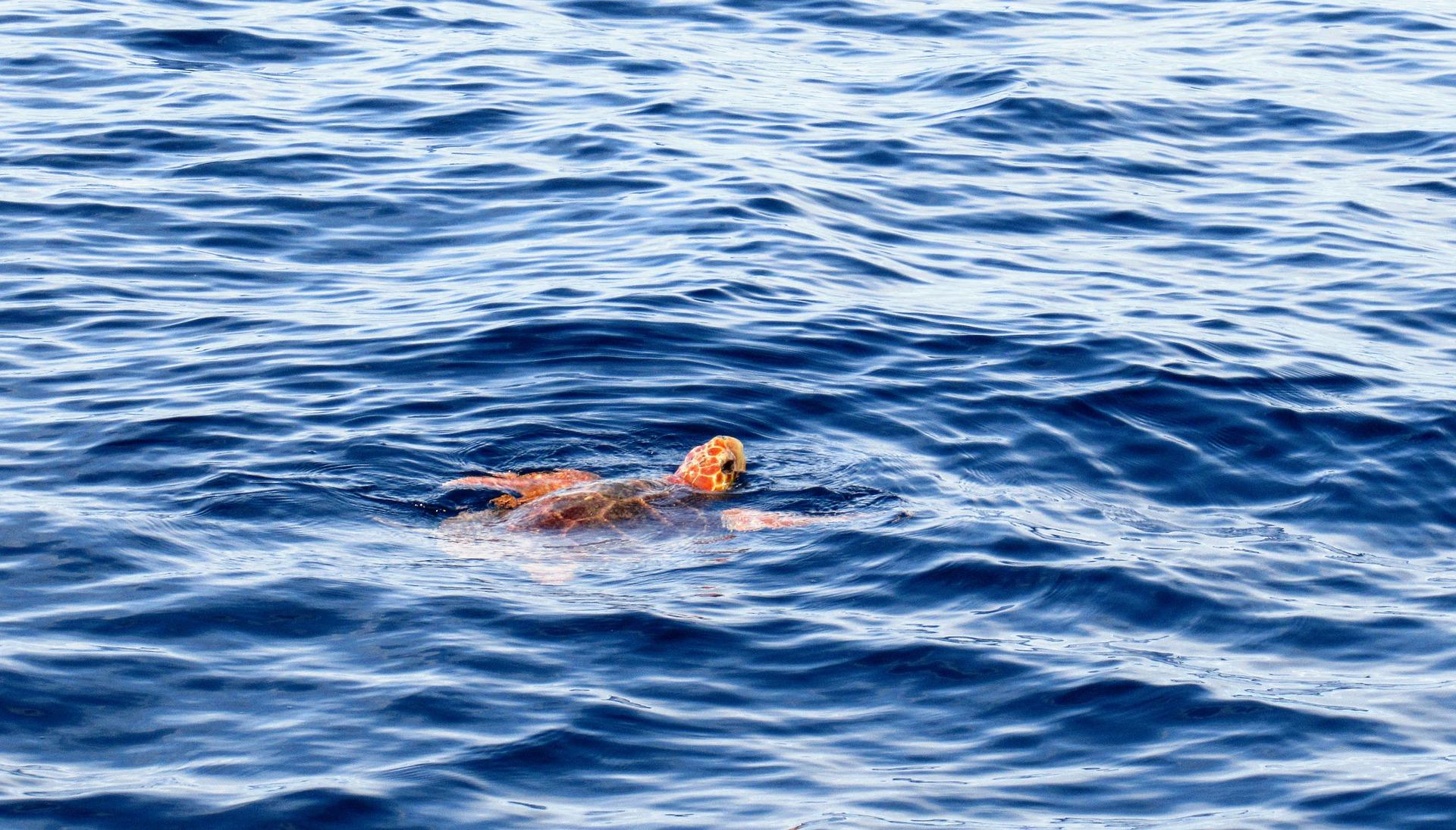 glavata želva - jadransko more