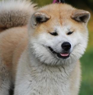 Akita pas s Dalekog istoka