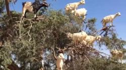 Koze u Maroku