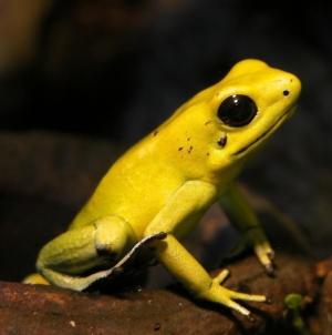 Zlatna žaba