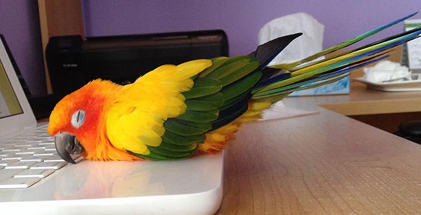 papagaj na laptopu
