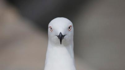 Teslina priča o golubici