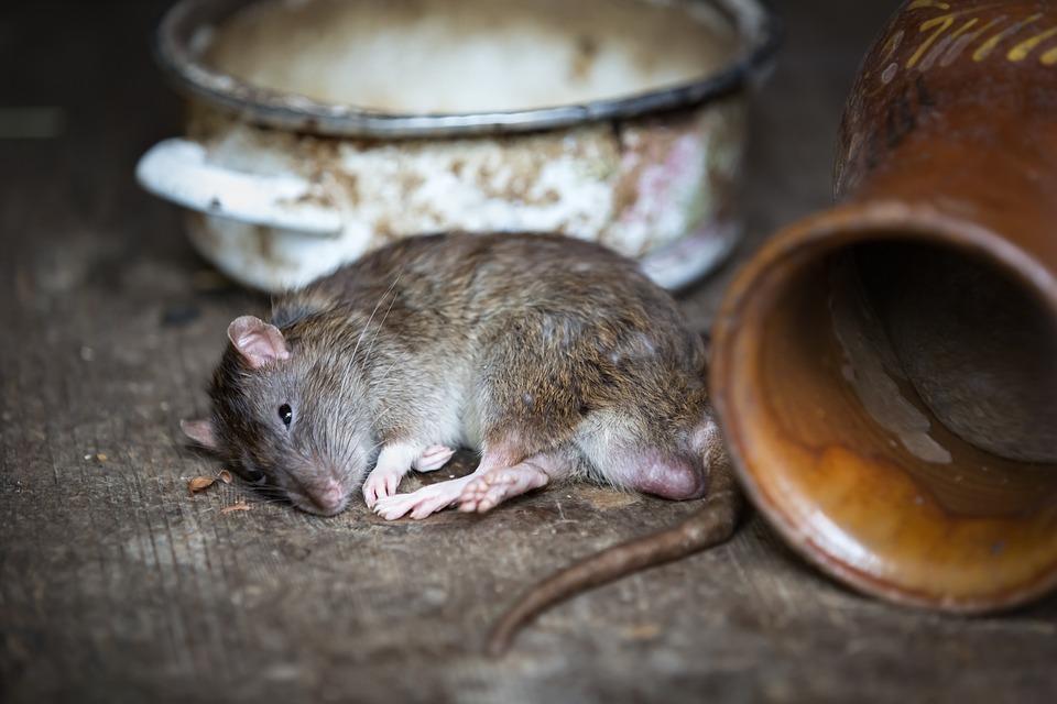 štakor