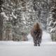 Bizoni nisu potpuno izumrli